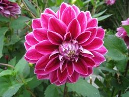 bright purple dahlia flower in the garden