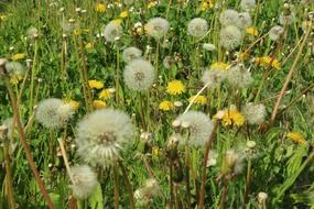 green meadow with dandelions
