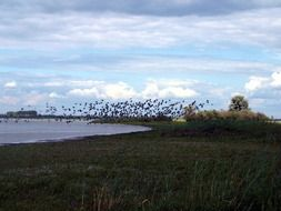 flock of migratory birds over the lake
