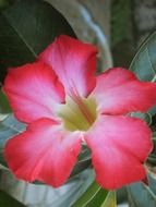 pink adenium with green leaves