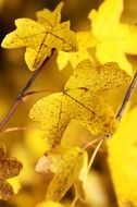 terrific maple yellow leaf