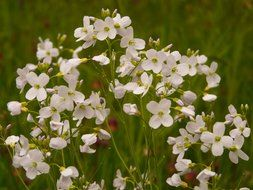 cuckoo flower in a meadow close-up