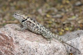 spiny lizard twin spotted