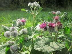 blooming burdock against the background of nature