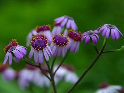 daisy purple flower nature flora
