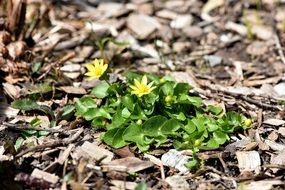 Yellow celandine flower early spring