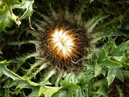 silver thistle in nature
