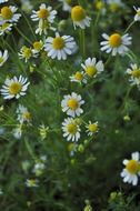 chamomile with white petals and green leaves