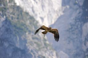 bird of prey hunting in the background of the mountains