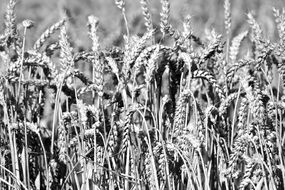 black and white photo of wheat field