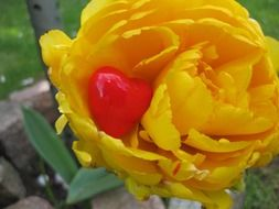 heart form decoration in yellow tulip flower