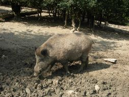 wild boar digs the ground in the forest