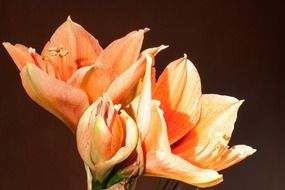 sweet orange amaryllis salmon