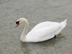 graceful swan in the pond