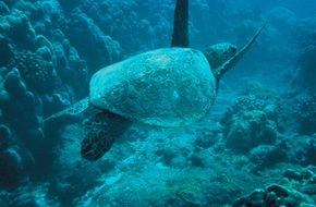 turtle in the blue sea water