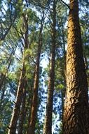 amazing pine forest