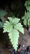 fern with light green leaves