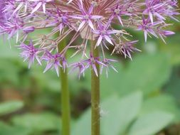 Purple allium flower blossomes