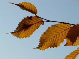 autumn leaves hornbeam against the blue sky