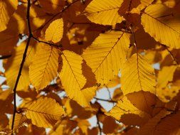 autumn leaves of hornbeam in the glare of the sun