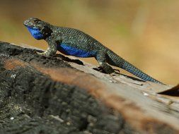 chameleon blue color lizard