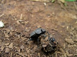 Dung beetle on manure
