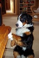 cute domestic bernese mountain dog
