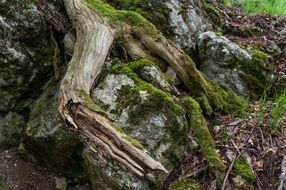 old tree roots in moss