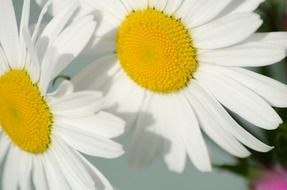 the nature of daisy flower