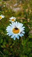 large fly on the daisy flower on a blurred background