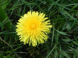 young fresh dandelion flower