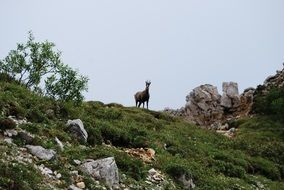 chamois mountain animal