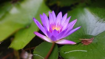 purple flower of water lily with yellow center