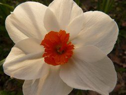 White daffodil close-up