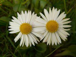 white daisies in the grass in the garden