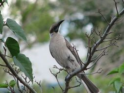 Little friarbird in wildlife