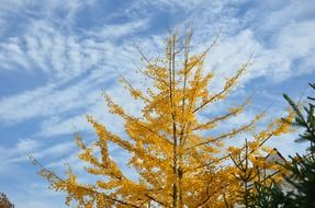 yellow autumn tree against a clear sky