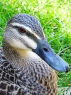 spotted duck on green grass
