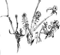 weeds flowers drawing