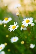 bright blossom of camomile