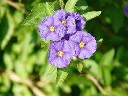 blue flowers of an ornamental plant