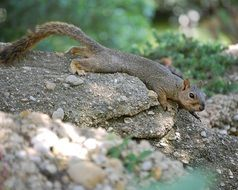 squirrel on a stone in the forest