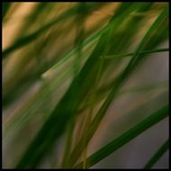 reed grass plant