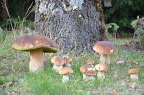 large forest mushrooms grow near a tree