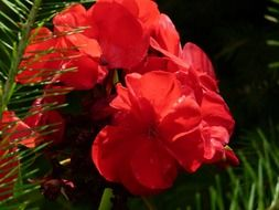 Red geranium flowers in the garden in the countryside