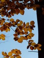 view of the sky through the autumn leaves of European beech