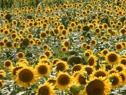 big sunflower field in Italy