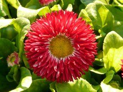 Red daisy closeup