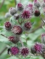purple flowers of burdock close-up