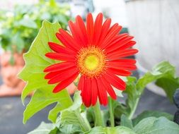 Red gerbera flower blossomes